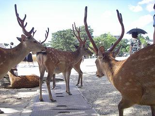 奈良公園鹿.jpg