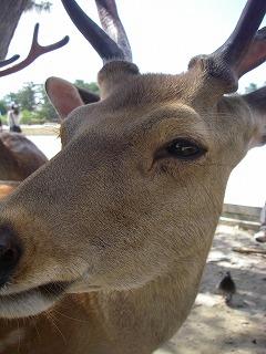 奈良公園鹿アップ.jpg